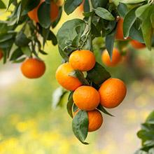 An orange tree branch full of fruit and hanging down.